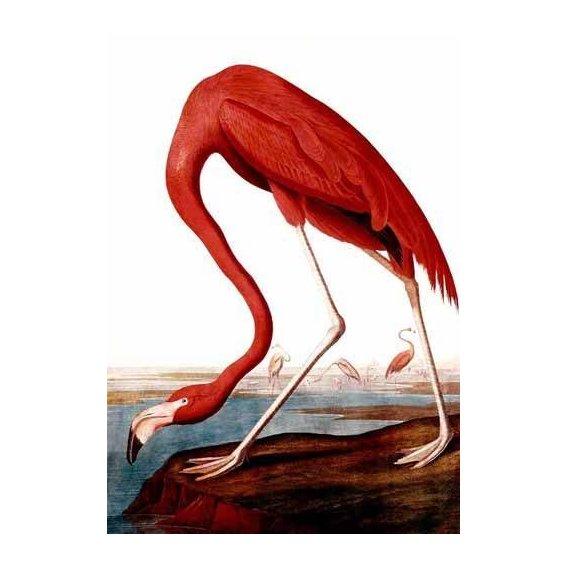 fotos de fauna - Quadro -Flamenco Americano-