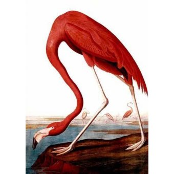- Quadro -Flamenco Americano- - Audubon, John James